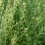 Camelina Blooms