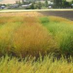 Camelina Field Trials