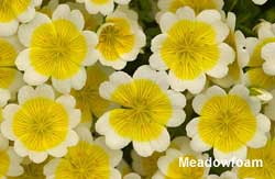 Meadowfoam flowers
